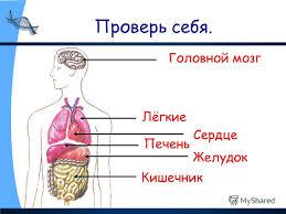 Презентация на тему Строение тела человека Организм человека  8 Проверь себя Головной мозг Лёгкие Сердце Печень Желудок Кишечник