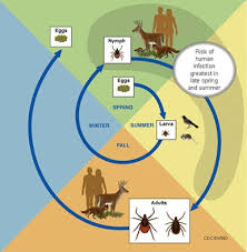 Cdc Tick Identification Chart Ticks In Maryland University Of Maryland Extension