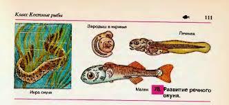 Размножение и развитие рыб Гипермаркет знаний Размножение и развитие рыб