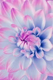periwinkle flower wallpaper