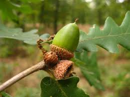 Image result for italian oak