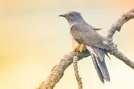 Jika kita amati dengan seksama, burung ini memiliki ukuran tubuh yang relatif. Burung Kedasih Taksonomi Ciri Morfologi Habitat Jenis Fakta Unik