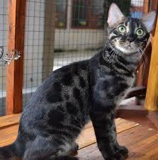 Tiga Perkara Perlu Diketahui Sebelum Bercita Cita Memelihara Kucing Bengal Astro Awani