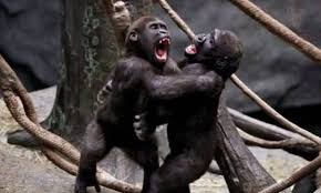 Image result for memes monkeys fighting banana