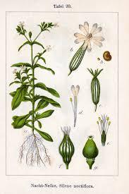 Silene noctiflora - Wikipedia, la enciclopedia libre