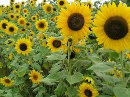 beautiful sunflower garden ideas