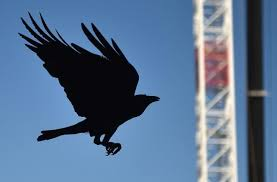 Crows Vending Machine Beauteous Bird Experts Doubt Crows Could Be Used To Clean Up Cigarette Butts