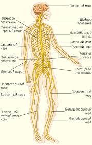 Нервная система человека Нервная система
