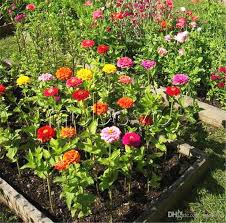 2019 zinnia elegans cut flower variety 100 seeds mix color ideal for beds and containers and for cutting annual flowering diy home garden from melove