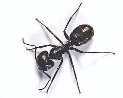carpenter ant pic. Perfect Carpenter Carpenter Ant Intended Pic A