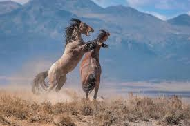 wild horses mustang fighting. Contemporary Fighting With Wild Horses Mustang Fighting D