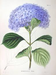 「hydrangea siebold wiki 」の画像検索結果