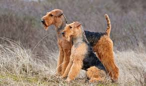 Airedale Weight Chart Airedale Terrier Breed Information