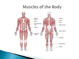 Try to use the scientific name. Explore The Scientific Names Of The Muscles Of The Body Identify And Explain The Differences Between The 3 Types Of Muscles In The Body Understand The Ppt Download