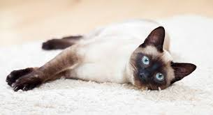 Siamese Kitten Growth Chart Choosing The Best Siamese Cat Food Top Meals For First