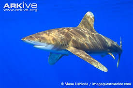 oceanic whitetip shark videos photos and facts carcharhinus  oceanic whitetip shark swimming lateral view