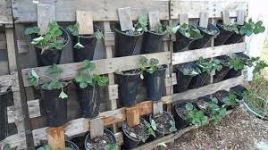 liberty garden strawberries in pallets