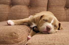 pitbull puppy wallpaper.  Puppy Pitbull Puppy Wallpaper 36611 In Pitbull Puppy Wallpaper I