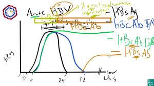 Hep B Serology Chart Hepatitis B Serology Explanation Made Easy
