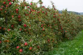 118 Best Fruit TreesFruit Plants Images On Pinterest  Fruit Fruit Trees In Michigan