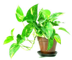 common house plant indoor plants with names common house plants names types of indoor plants some common house plant
