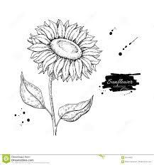 Disegno Di Vettore Del Fiore Del Girasole Illustrazione Disegnata A