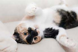What Does it Mean When My Cat Lies Belly Up? | Pleasant Plains Animal  Hospital