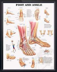 Ankle Bone Chart Foot And Ankle Chart 20x26 Foot Anatomy Ankle Anatomy