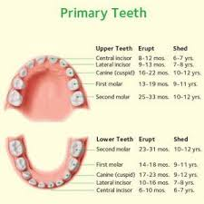 Which Baby Teeth Fall Out Chart Dentistry For Kids Dentist In Mechanicsville Va