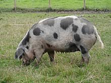 Domestic Pig Wikipedia