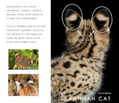 savannah cat chart savannah cat information