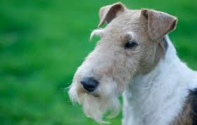 as one of the smaller dog breeds the fox terrier is ideal for families with little children and a love for hunting these dogs have great eyesight