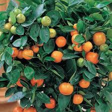 CITRUS TREES  Lemon Lime Orange Grapefruit And Kumquat Small Orange Fruit On Tree