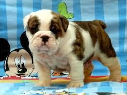 tucson az stocky wrinkled english bulldog puppies