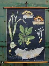 Vintage Botanical School Wall Chart By Jung Koch Quentell For Hagemann