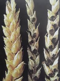 Твердая головня пшеницы ХитАгро ru