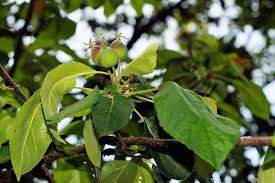 green apple tree leaves. apple tree, leaves, young apple, green, nature, branch green tree leaves