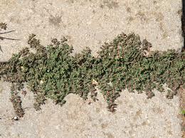 Euphorbia maculata L. - Portale sulla flora delle Saline di Cervia
