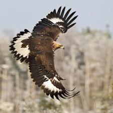 golden eagles flying. Plain Golden Juvenile 1st Winter Golden Eagle In Flight Inside Eagles Flying G