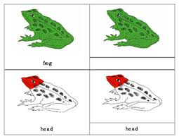 Parts Of A Frog Parts Of An Amphibian Three Part Cards Frog Tpt