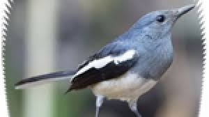 Bulu burung merak jantan lebih indah dibandingkan dengan burung merak betina. Download Aneka Suara Burung Betina Om Kicau