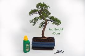 15cm year old syzygium bonsai tree gift set available to from all things bonsai