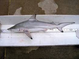 Sharks Of The Gulf