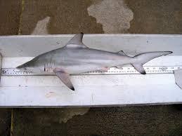 Texas Fish Chart Sharks Of The Gulf