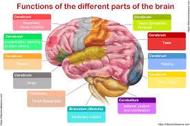 Human Brain For Kids The Brain Human Brain Facts Human