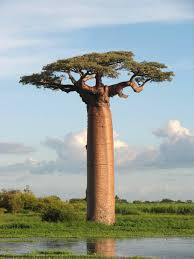 Most Amazing trees around the globe Images?q=tbn:ANd9GcQV6mIVo9VDs74p0VMMH5p2XTgbey7WyMFDKSLoBTHMxMLXYtIS