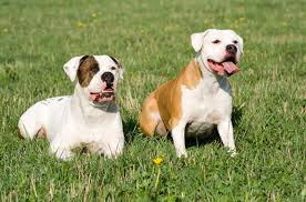 American Bulldog Height Chart American Bulldog