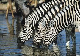 Image result for images zebras