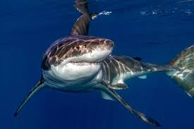 great white sharks eating people alive. Plain White Great White Shark Reproduction Throughout Sharks Eating People Alive