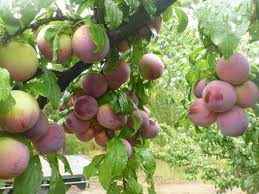 <b>Sweet summer</b> fruits ready now at Rayners Orchards | Visit ...